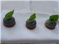 Ragstone cheese canapés